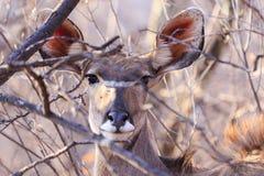 Kudu nel foresst Fotografia Stock