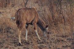 Kudu nel parco nazionale Sudafrica di Kruger immagini stock libere da diritti
