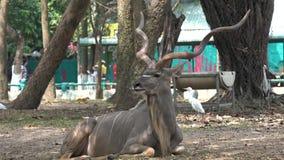 Kudu oder größeres Kudu stock video