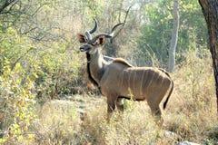 Kudu op het vooruitzicht Stock Afbeeldingen