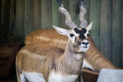 Kudu på zoo royaltyfria foton