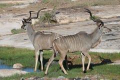 Kudu pair at water hole Royalty Free Stock Image