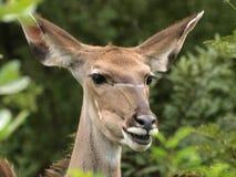 Kudu Royalty-vrije Stock Foto's