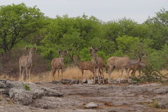 Kudu pasce in Etosha, Namibia Fotografie Stock