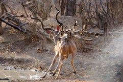 Kudu pested Oxpeckers Стоковые Изображения