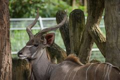 Kudu plus grand Image stock