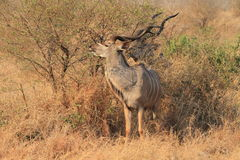 Kudu plus grand photo libre de droits