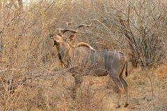 Kudu plus grand photographie stock libre de droits