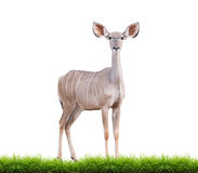 Kudu plus grand femelle image stock
