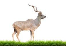 Kudu plus grand mâle image stock