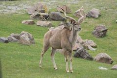 Kudu plus grand (strepsiceros de Tragelaphus) Images libres de droits