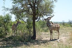 Kudu pod drzewem fotografia royalty free
