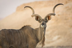Kudu portrait Royalty Free Stock Photo