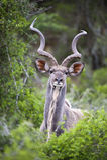 Kudu Portrait Stock Photos