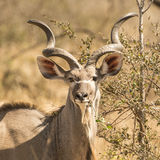 Kudu Portrait Stockbild