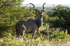 Kudu portrait. Portrait of a Kudu antelope in late afternoon sun light Royalty Free Stock Images
