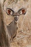 Kudu. Portrait of a young kudu in Gonarezhou Stock Photography