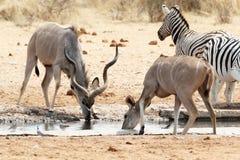Kudu que bebe de waterhole Fotos de archivo