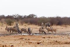 Kudu que bebe de waterhole Fotos de archivo libres de regalías