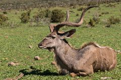 Kudu que encontra-se na grama foto de stock royalty free