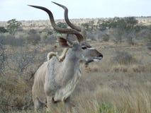 Kudu que escuta Imagem de Stock