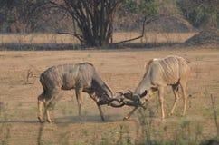 Kudu que lucha Fotos de archivo libres de regalías