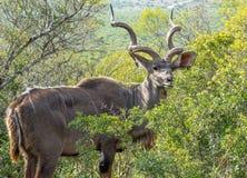 Kudu que mira la cámara fotos de archivo libres de regalías
