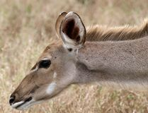 Kuda. Kudu reaching out to smell the leaves Royalty Free Stock Image