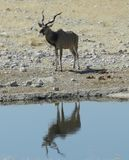 Kudu Reflection Stock Images