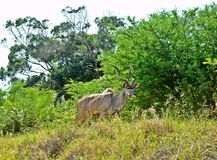 Kudu on the ridge. A Greater Kudu bull on a ridge in the Cape Vidal reserve Natal SA Stock Photo