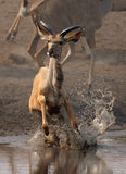 Kudu running. Young kudu antelope fleeing out of the water; Etosha; Tragelaphus strepsiceros Royalty Free Stock Images