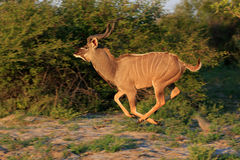 Kudu. Running Kudu in the Makgadikgadi Pans Nationnalpark Royalty Free Stock Image