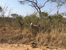 Kudu in Südafrika - kudo in Southafrica. Kudus in Südafrika im Krüger Nationalpark - kudus in Southafrica in Kruger National Parc Royalty Free Stock Photos