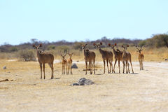 Kudu's alert on their way to the water Stock Image