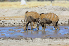 Kudu's drinking at muddy waterhole Stock Photos