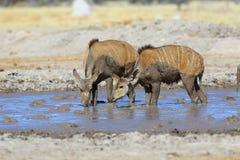 Kudu's drinking at muddy waterhole Stock Photos