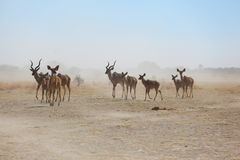 Kudu's from the dust Stock Images