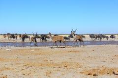 Kudu's at muddy waterhole Royalty Free Stock Photos