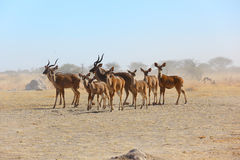 Kudu's in Nxai Pan NP Stock Image