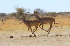Kudu's running Stock Images