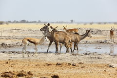Kudu's and Springbok at the water hole Stock Images