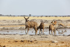 Kudu's at the waterhole in Nxai Pan NP Stock Photography