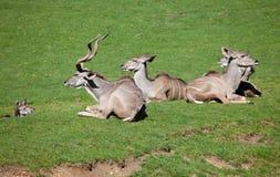 Kudu sitting in a field Stock Image