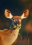 Kudu som äter gräsplansidor Royaltyfria Bilder