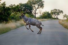 Kudu som hoppar över en väg arkivfoto