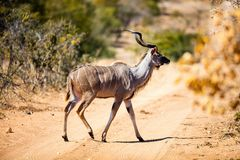 Kudu in South Africa Royalty Free Stock Photo