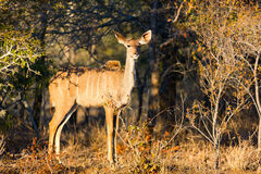 Kudu in South Africa Royalty Free Stock Photos