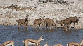 Kudu and springbok antelopes - Etosha stock video footage