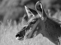 Kudu stående i svartvitt Royaltyfri Foto