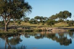 Kudu stado przy waterhole zdjęcie stock